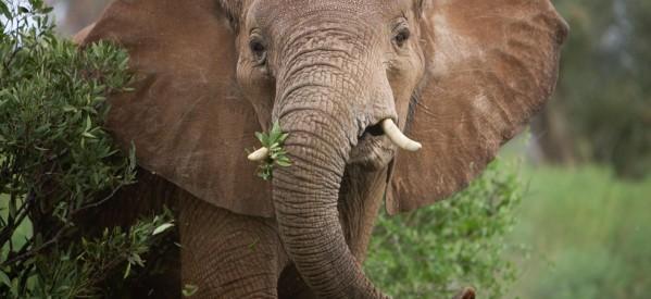 Autoridades de Estados Unidos Eliminan Restricciones en la Importación de Trofeos de Elefantes Africanos