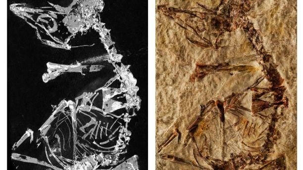 Un Fósil de un Ave de 127 Millones de Años Nos Ayuda a Entender la Evolución