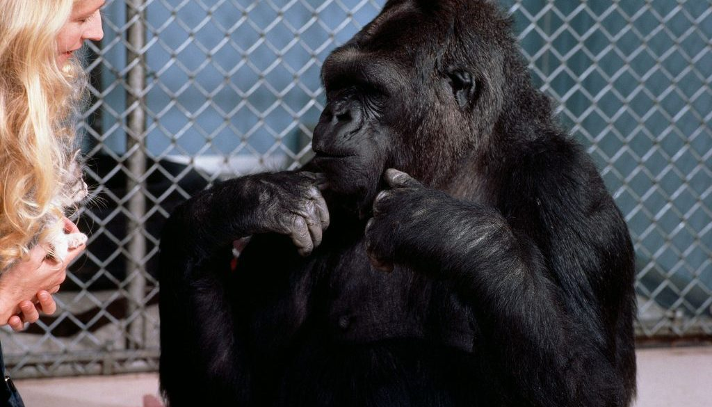 koko-gorilla-dies-46-westherald