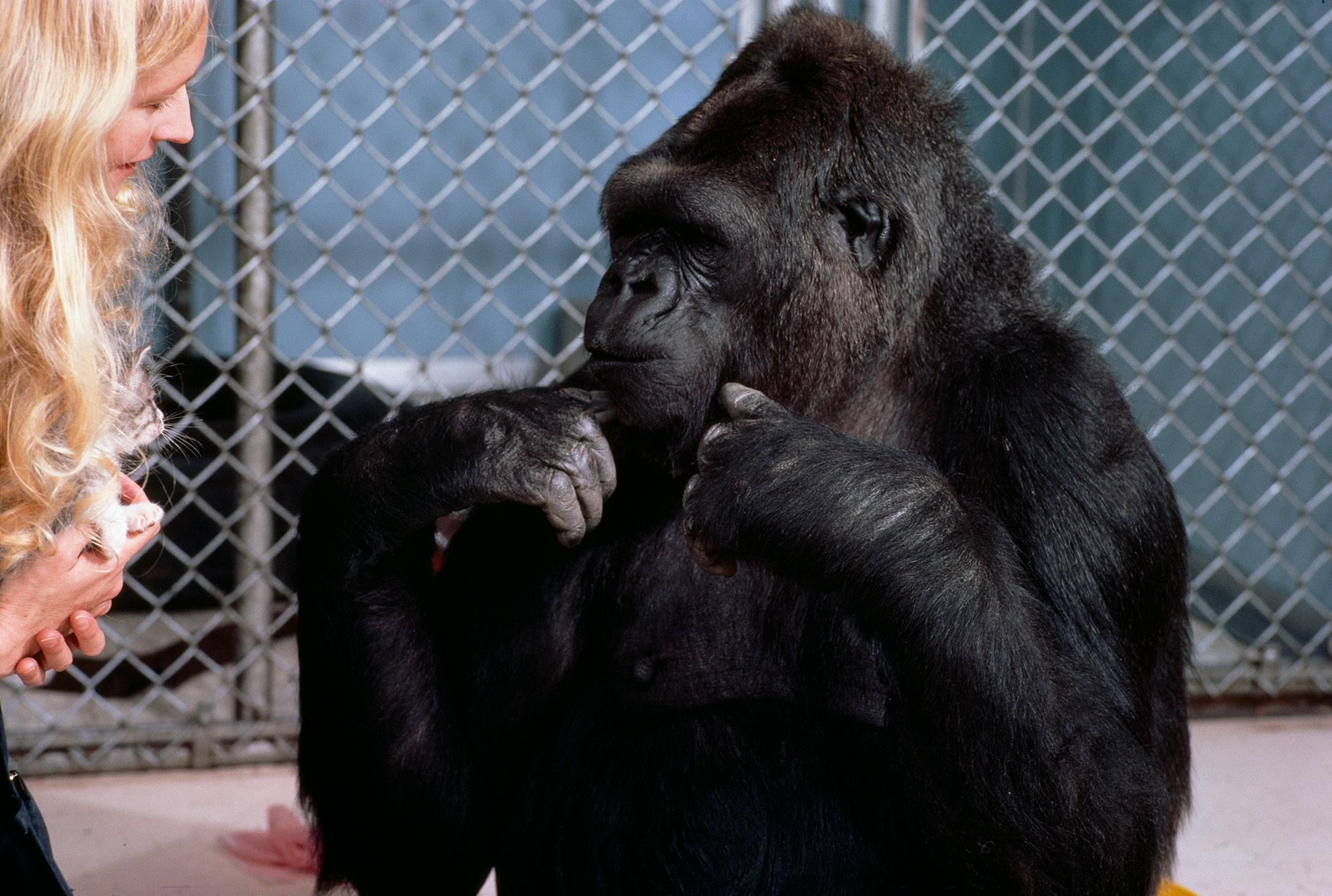Koko, el gorila que aprendió lenguaje de señas, muerta