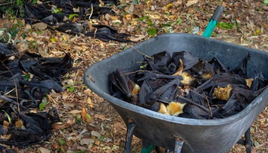 El calor extremo aniquiló a un tercio de las especies de zorro volador de anteojos australianas
